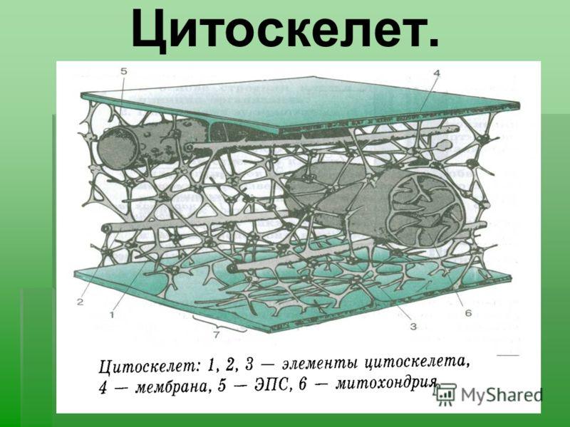 Цитоскелет.