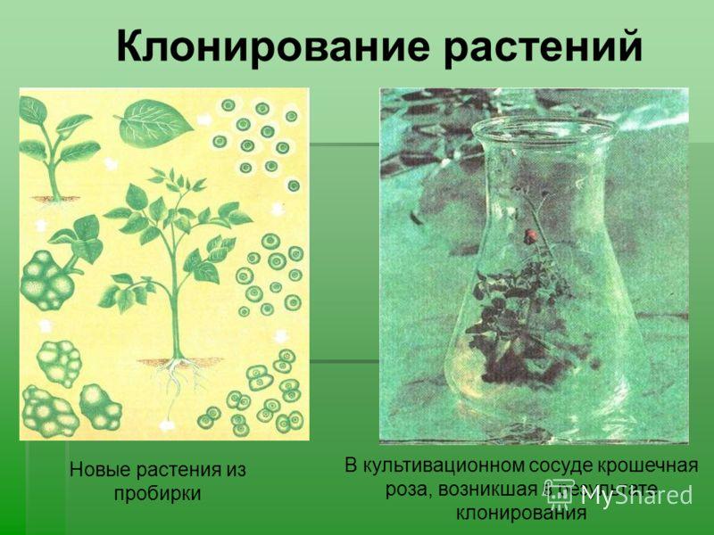 В культивационном сосуде крошечная роза, возникшая в результате клонирования Новые растения из пробирки Клонирование растений