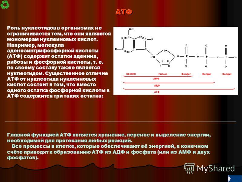 АТФАТФ Роль нуклеотидов в организмах не ограничивается тем, что они являются мономерам нуклеиновых кислот. Например, молекула аденозинтрифосфорной кислоты (АТФ) содержит остатки аденина, рибозы и фосфорной кислоты, т. е. по своему составу также являе