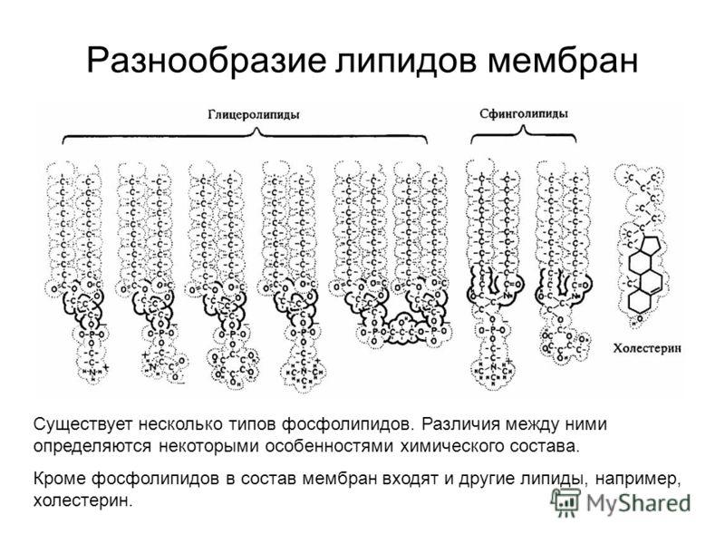 Разнообразие липидов мембран Существует несколько типов фосфолипидов. Различия между ними определяются некоторыми особенностями химического состава. Кроме фосфолипидов в состав мембран входят и другие липиды, например, холестерин.