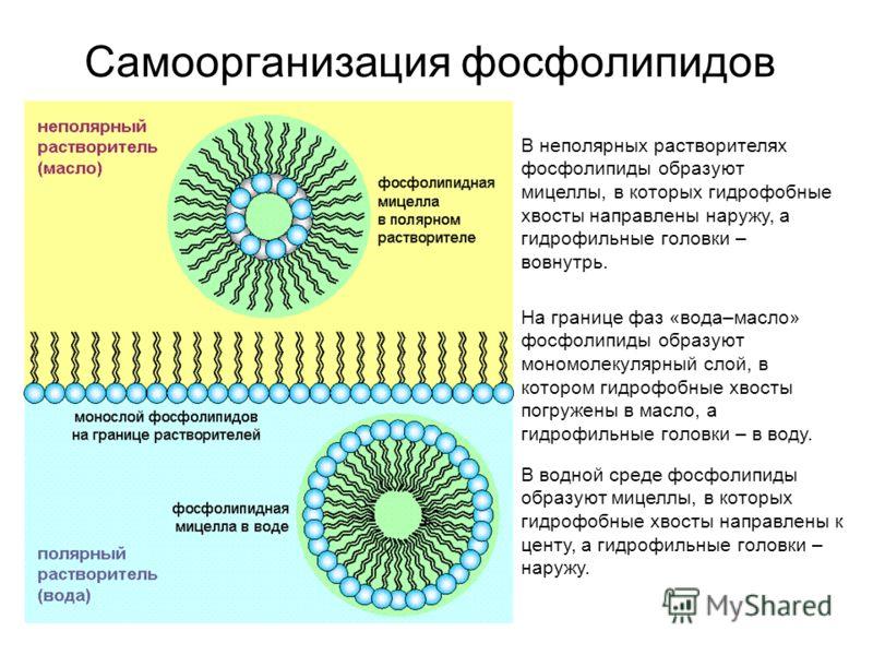 Самоорганизация фосфолипидов В неполярных растворителях фосфолипиды образуют мицеллы, в которых гидрофобные хвосты направлены наружу, а гидрофильные головки – вовнутрь. В водной среде фосфолипиды образуют мицеллы, в которых гидрофобные хвосты направл