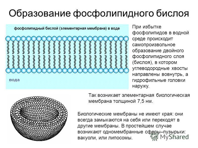 Образование фосфолипидного бислоя При избытке фосфолипидов в водной среде происходит самопроизвольное образование двойного фосфолипидного слоя (бислоя), в котором углеводородные хвосты направлены вовнутрь, а гидрофильные головки наружу. Так возникает