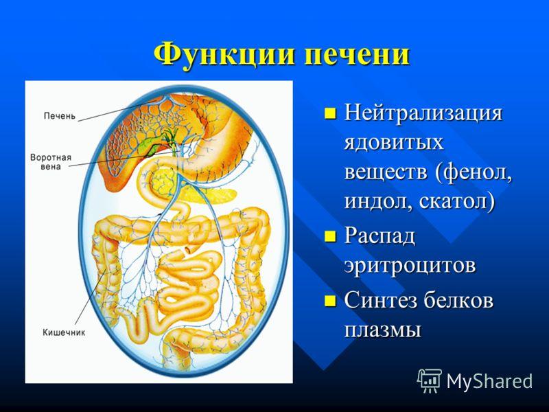 Функции печени Нейтрализация ядовитых веществ (фенол, индол, скатол) Распад эритроцитов Синтез белков плазмы