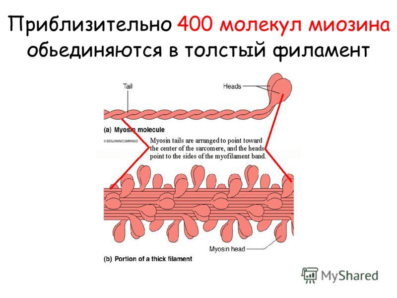 Приблизительно 400 молекул миозина обьединяются в толстый филамент