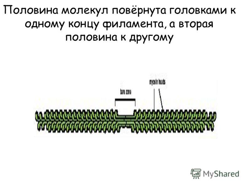 Половина молекул повёрнута головками к одному концу филамента, а вторая половина к другому