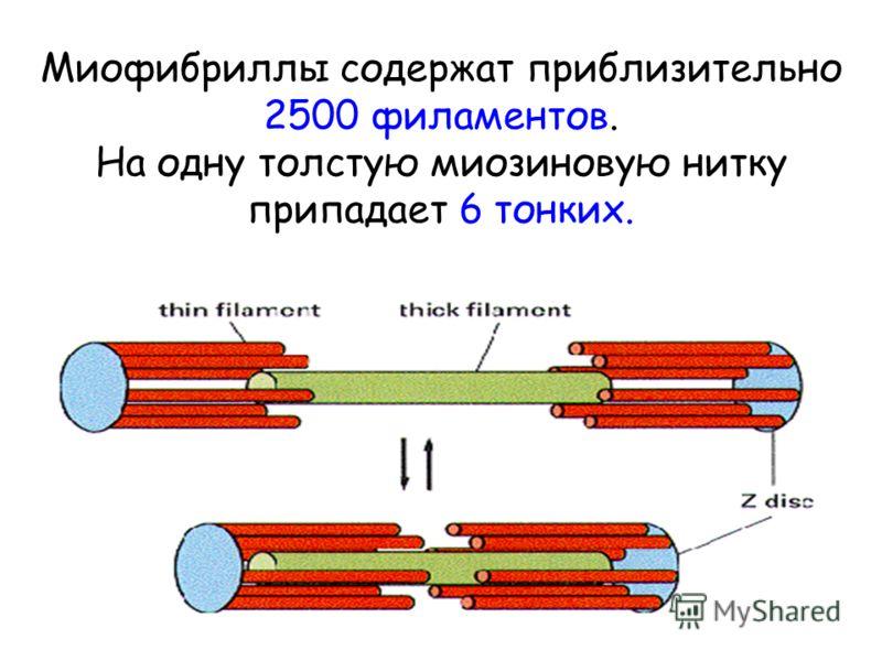 Миофибриллы содержат приблизительно 2500 филаментов. На одну толстую миозиновую нитку припадает 6 тонких.