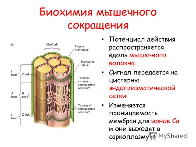 Биохимия мышечного сокращения Потенциал действия распространяется вдоль мышечного волокна. Сигнал передаётся на цистерны эндоплазматической сетки Изменяется проницаемость мембран для ионов Са и они выходят в саркоплазму
