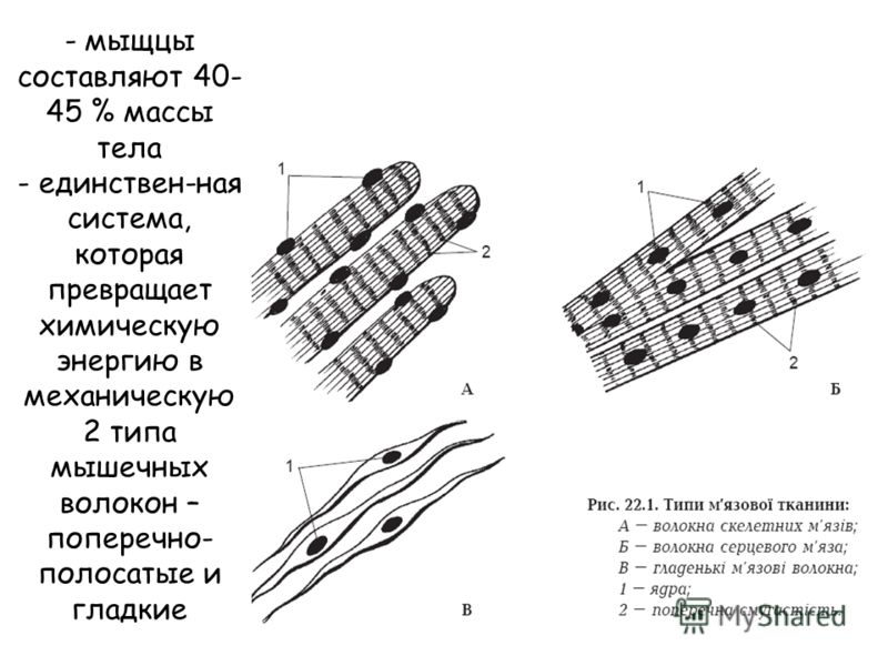 - мыщцы составляют 40- 45 % массы тела - единствен-ная система, которая превращает химическую энергию в механическую 2 типа мышечных волокон – поперечно- полосатые и гладкие