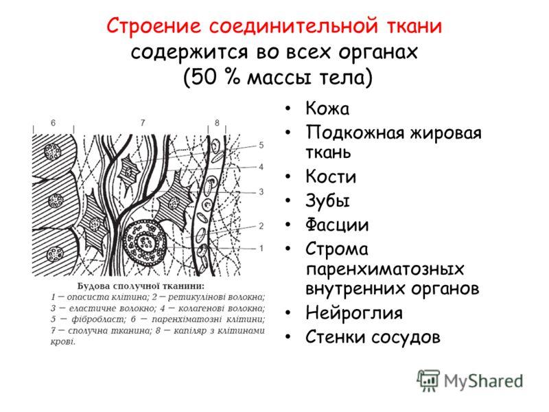 Строение соединительной ткани содержится во всех органах (50 % массы тела) Кожа Подкожная жировая ткань Кости Зубы Фасции Строма паренхиматозных внутренних органов Нейроглия Стенки сосудов