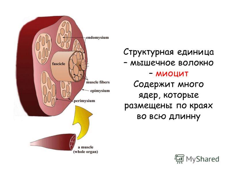 Структурная единица – мышечное волокно – миоцит Содержит много ядер, которые размещены по краях во всю длинну