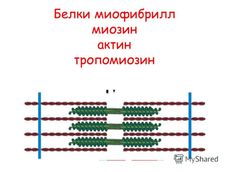 Белки миофибрилл миозин актин тропомиозин