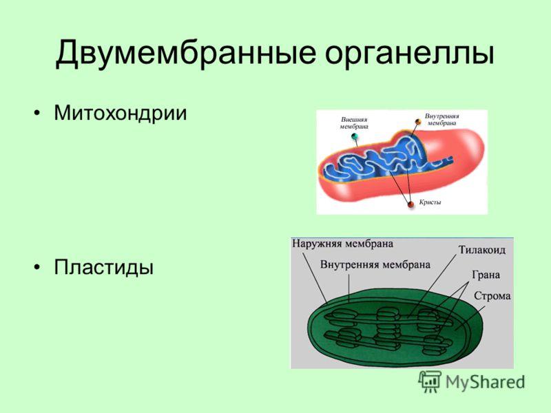 Двумембранные органеллы Митохондрии Пластиды