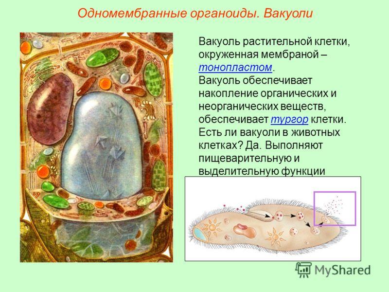 Вакуоль растительной клетки, окруженная мембраной – тонопластом. Вакуоль обеспечивает накопление органических и неорганических веществ, обеспечивает тургор клетки. Есть ли вакуоли в животных клетках? Да. Выполняют пищеварительную и выделительную функ