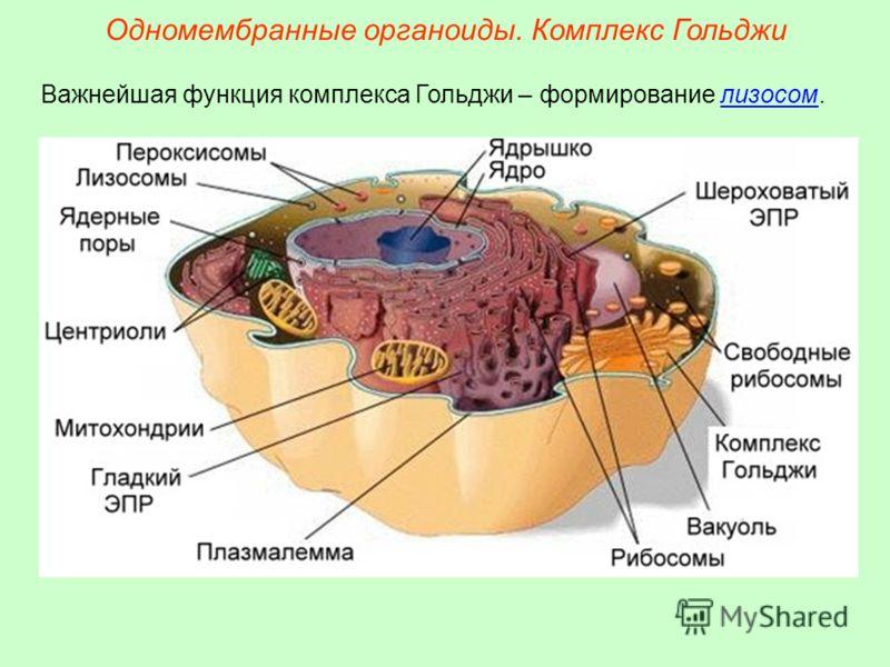 Важнейшая функция комплекса Гольджи – формирование лизосом. Одномембранные органоиды. Комплекс Гольджи