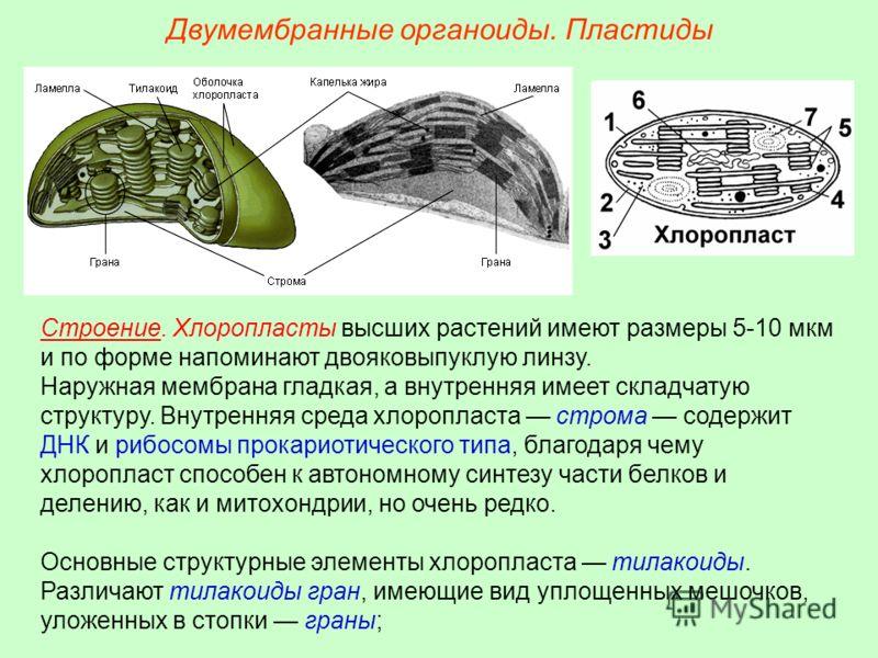 Двумембранные органоиды. Пластиды Строение. Хлоропласты высших растений имеют размеры 5-10 мкм и по форме напоминают двояковыпуклую линзу. Наружная мембрана гладкая, а внутренняя имеет складчатую структуру. Внутренняя среда хлоропласта строма содержи