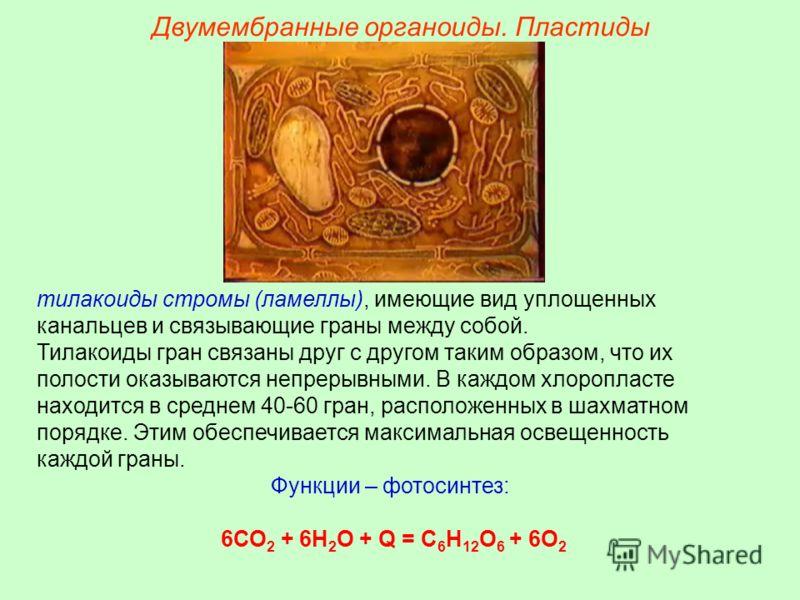 Двумембранные органоиды. Пластиды тилакоиды стромы (ламеллы), имеющие вид уплощенных канальцев и связывающие граны между собой. Тилакоиды гран связаны друг с другом таким образом, что их полости оказываются непрерывными. В каждом хлоропласте находитс