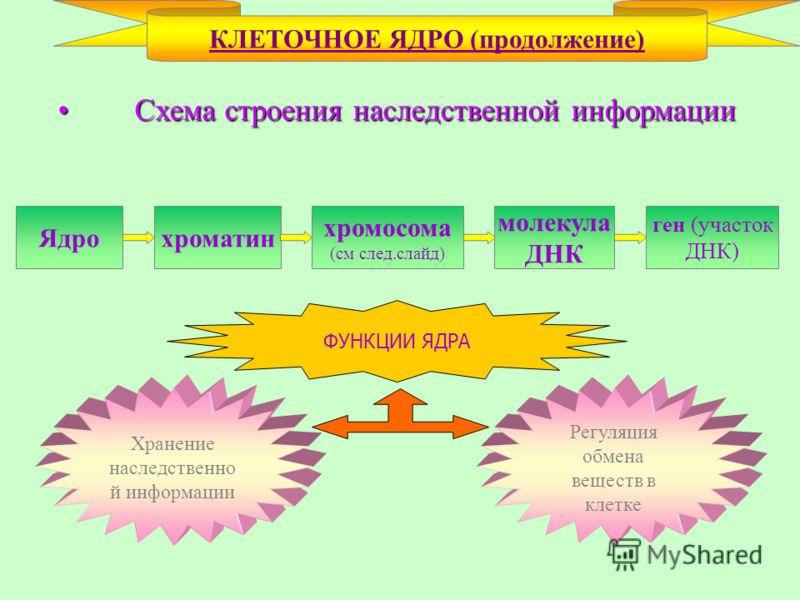 Схема строения наследственной информации Схема строения наследственной информации КЛЕТОЧНОЕ ЯДРО (продолжение) Ядрохроматин хромосома (см след.слайд) молекула ДНК ген (участок ДНК) ФУНКЦИИ ЯДРА Хранение наследственно й информации Регуляция обмена вещ