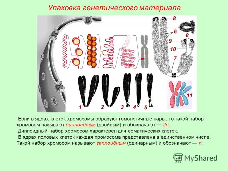 Упаковка генетического материала Если в ядрах клеток хромосомы образуют гомологичные пары, то такой набор хромосом называют диплоидным (двойным) и обозначают 2n. Диплоидный набор хромосом характерен для соматических клеток. В ядрах половых клеток каж
