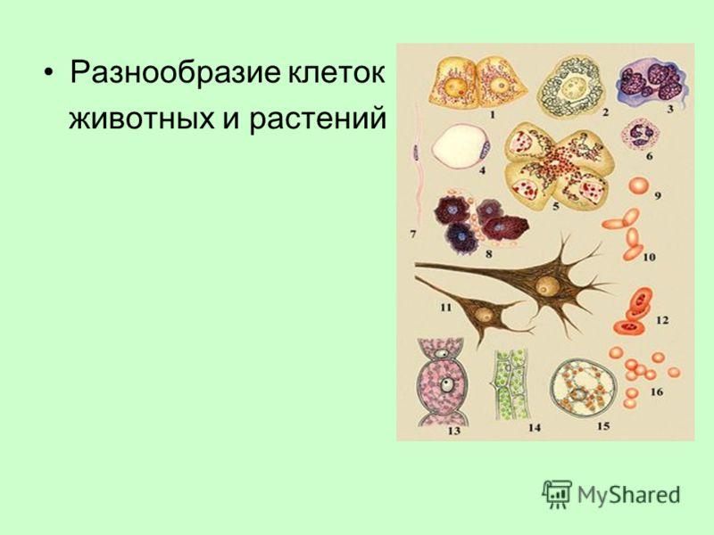 Разнообразие клеток животных и растений