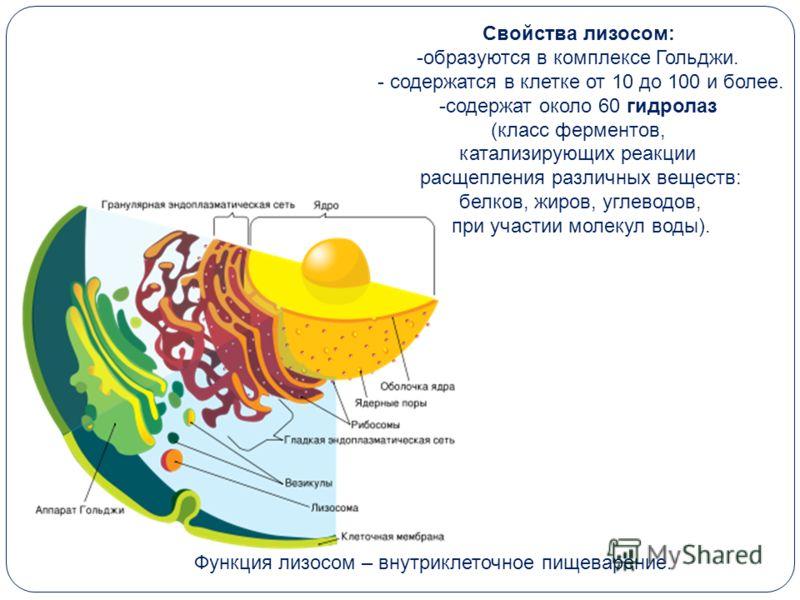 Свойства лизосом: -образуются в комплексе Гольджи. - содержатся в клетке от 10 до 100 и более. -содержат около 60 гидролаз (класс ферментов, катализирующих реакции расщепления различных веществ: белков, жиров, углеводов, при участии молекул воды). Фу