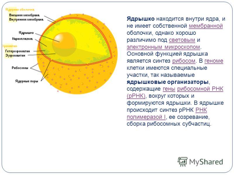 Ядрышко находится внутри ядра, и не имеет собственной мембранной оболочки, однако хорошо различимо под световым и электронным микроскопом.мембраннойсветовым электронным микроскопом Основной функцией ядрышка является синтез рибосом. В геноме клетки им