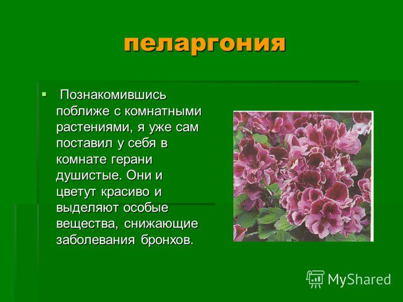 пеларгония Познакомившись поближе с комнатными растениями, я уже сам поставил у себя в комнате герани душистые. Они и цветут красиво и выделяют особые вещества, снижающие заболевания бронхов. Познакомившись поближе с комнатными растениями, я уже сам