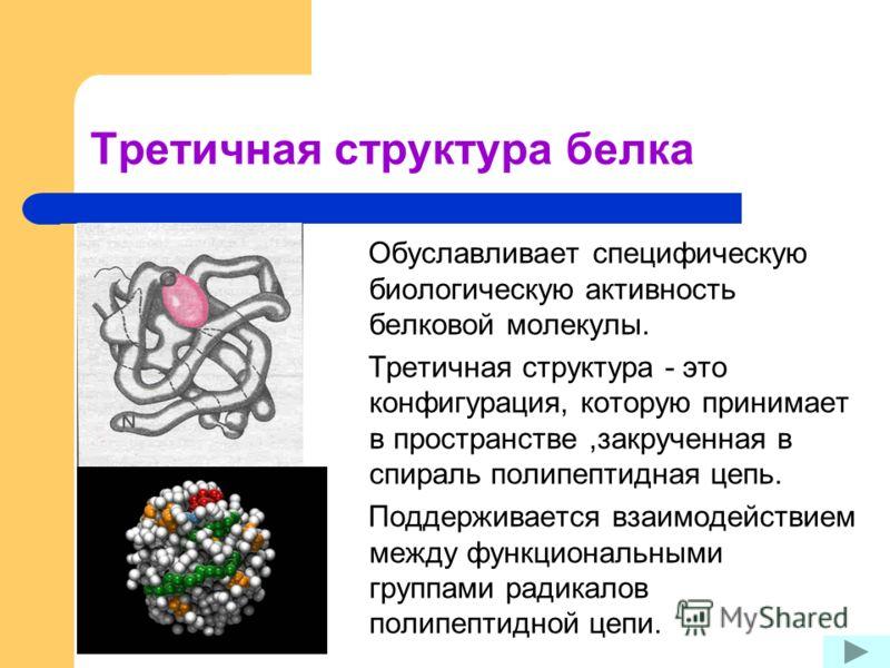 Третичная структура белка Обуславливает специфическую биологическую активность белковой молекулы. Третичная структура - это конфигурация, которую принимает в пространстве,закрученная в спираль полипептидная цепь. Поддерживается взаимодействием между