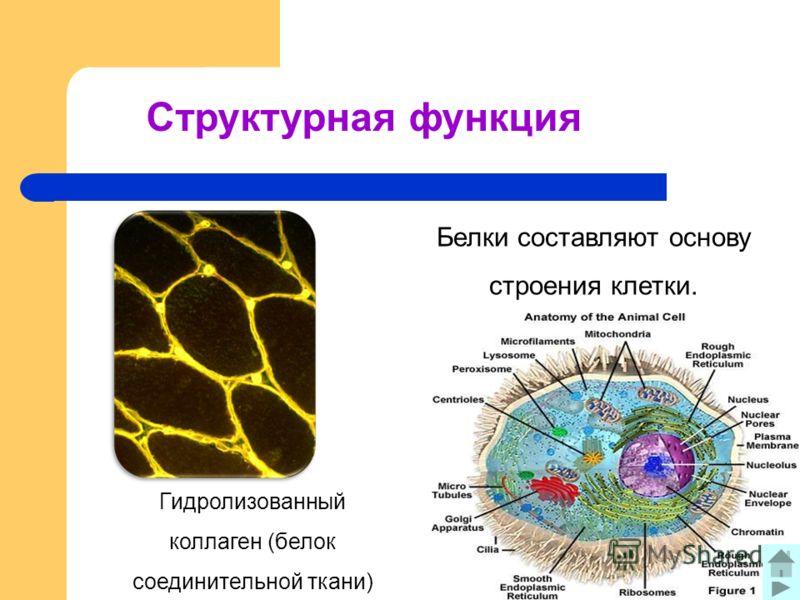Структурная функция Белки составляют основу строения клетки. Гидролизованный коллаген (белок соединительной ткани)