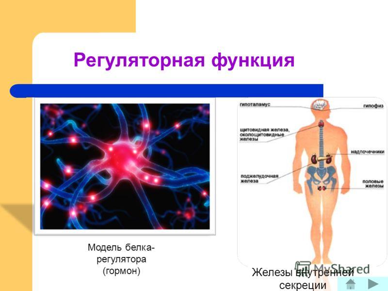 Регуляторная функция Железы внутренней секреции Модель белка- регулятора (гормон)
