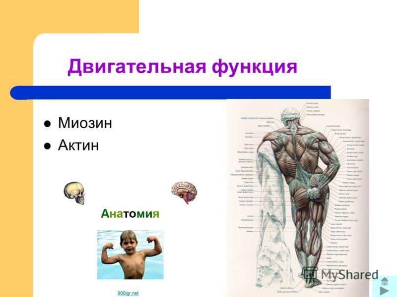 Двигательная функция Миозин Актин