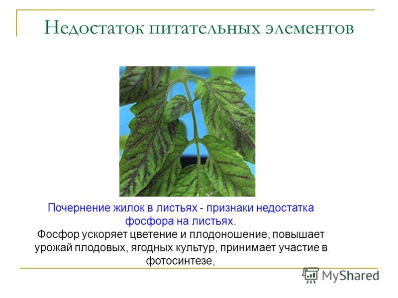 Недостаток питательных элементов Почернение жилок в листьях - признаки недостатка фосфора на листьях. Фосфор ускоряет цветение и плодоношение, повышает урожай плодовых, ягодных культур, принимает участие в фотосинтезе,