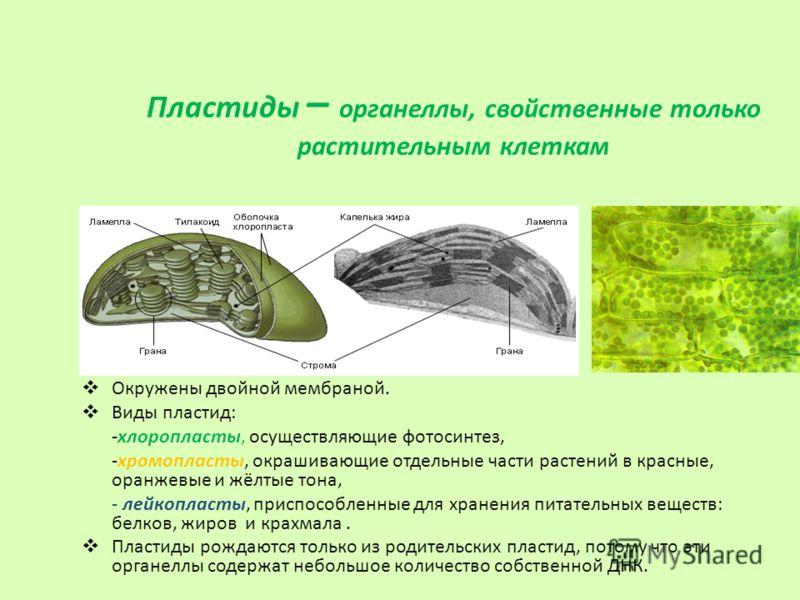 Пластиды – органеллы, свойственные только растительным клеткам Окружены двойной мембраной. Виды пластид: -хлоропласты, осуществляющие фотосинтез, -хромопласты, окрашивающие отдельные части растений в красные, оранжевые и жёлтые тона, - лейкопласты, п