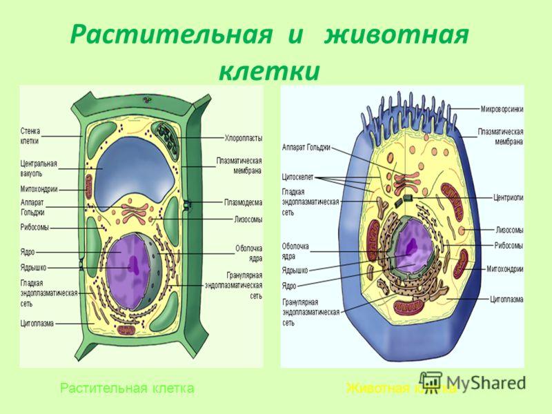 Растительная и животная клетки Животная клеткаРастительная клетка
