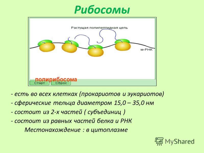 Рибосомы - есть во всех клетках (прокариотов и эукариотов) - сферические тельца диаметром 15,0 – 35,0 нм - состоит из 2-х частей ( субъединиц ) - состоит из равных частей белка и РНК Местонахождение : в цитоплазме полирибосома