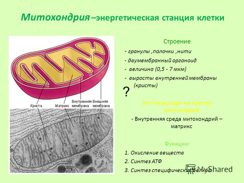 Митохондрия –энергетическая станция клетки Строение - гранулы,палочки,нити - двумембранный органоид - величина (0,5 - 7 мкм) - выросты внутренней мембраны (кристы) Что происходит на кристах митохондрий - Внутренняя среда митохондрий – матрикс Функции