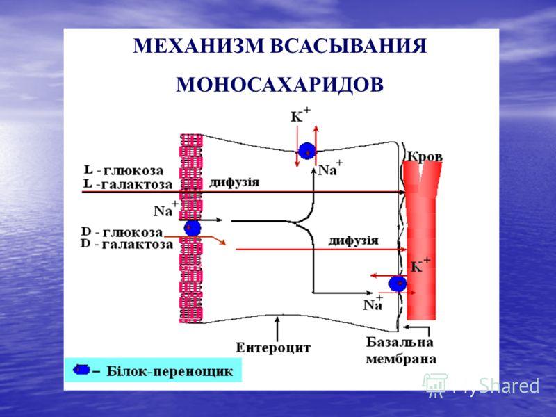 МЕХАНИЗМ ВСАСЫВАНИЯ МОНОСАХАРИДОВ