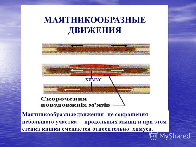 ХИМУС Маятникообразные движения -це сокращения небольшого участка продольных мышц и при этом стенка кишки смещается относительно химуса. МАЯТНИКООБРАЗНЫЕ ДВИЖЕНИЯ