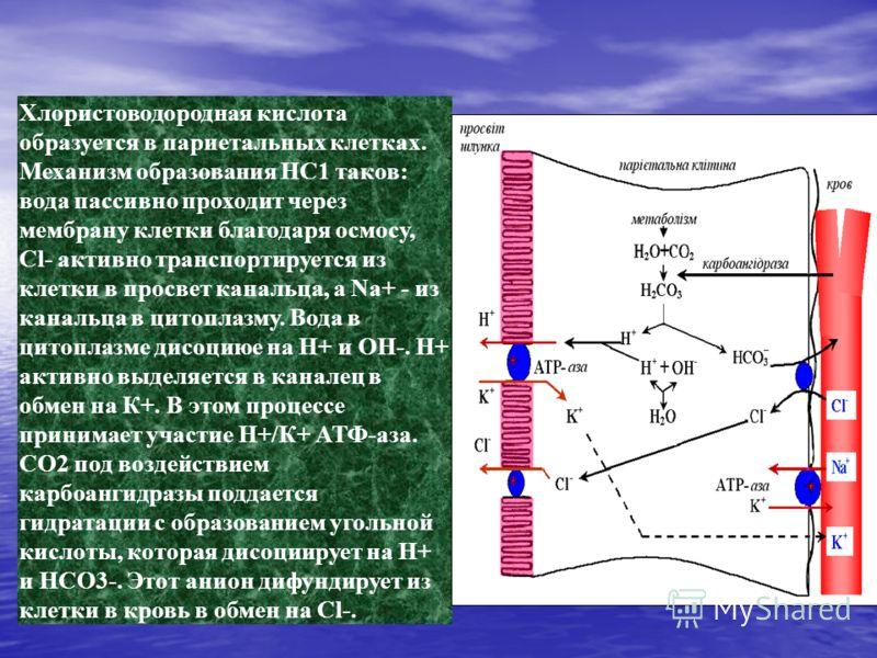 Хлористоводородная кислота образуется в париетальных клетках. Механизм образования HC1 таков: вода пассивно проходит через мембрану клетки благодаря осмосу, Сl- активно транспортируется из клетки в просвет канальца, а Na+ - из канальца в цитоплазму.
