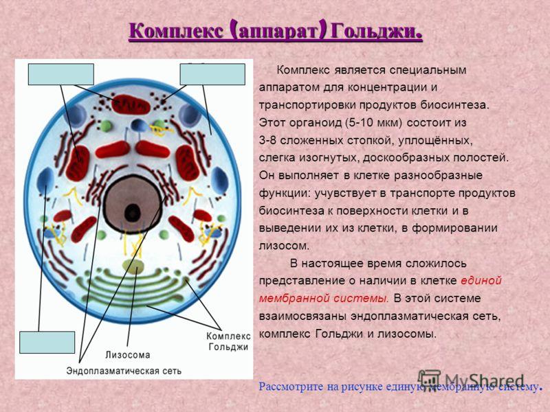 Комплекс ( аппарат ) Гольджи. Комплекс является специальным аппаратом для концентрации и транспортировки продуктов биосинтеза. Этот органоид (5-10 мкм) состоит из 3-8 сложенных стопкой, уплощённых, слегка изогнутых, доскообразных полостей. Он выполня