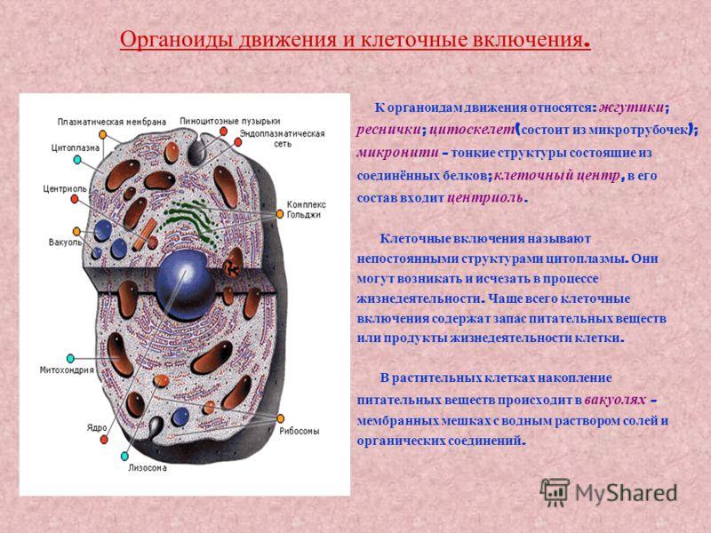 Органоиды движения и клеточные включения. К органоидам движения относятся : жгутики ; реснички ; цитоскелет ( состоит из микротрубочек ); микронити – тонкие структуры состоящие из соединённых белков ; клеточный центр, в его состав входит центриоль. К