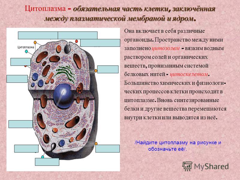 обязательная часть клетки, заключённая между плазматической мембраной и ядром. Цитоплазма – обязательная часть клетки, заключённая между плазматической мембраной и ядром. Она включает в себя различные органоиды. Пространство между ними заполнено цито