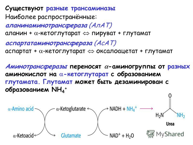 Существуют разные трансаминазы Наиболее распространённые: аланинаминотрансфераза (АлАТ) аланин + -кетоглутарат пируват + глутамат аспартатаминотрансфераза (АсАТ) аспартат + -кетоглутарат оксалоацетат + глутамат Аминотрансферазы переносят -аминогруппы