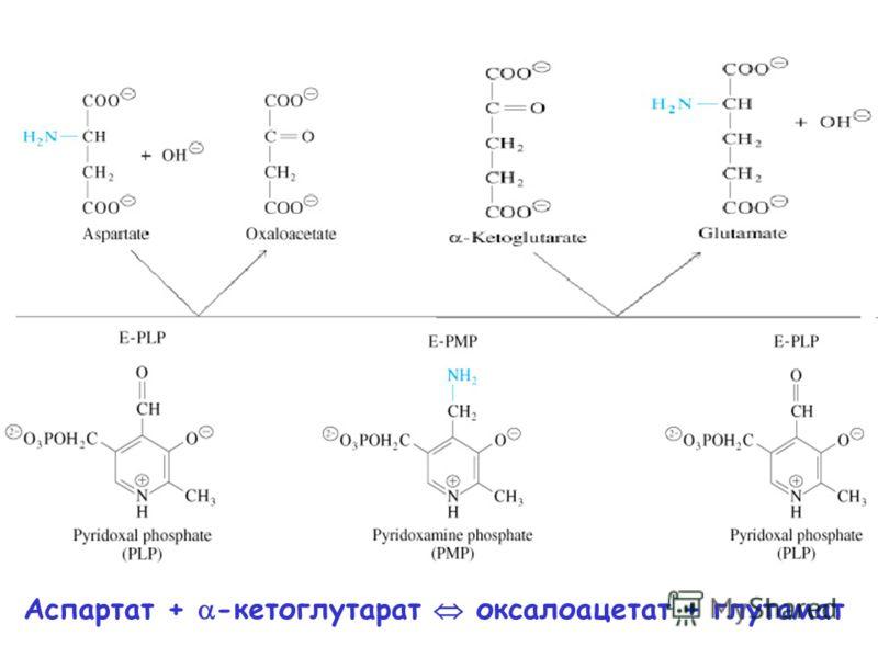 Аспартат + -кетоглутарат оксалоацетат + глутамат