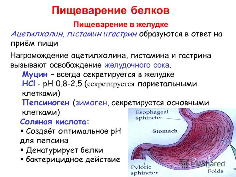Пищеварение белков Пищеварение в желудке Ацетилхол и н, г и стам и н и гастрин образуются в ответ на приём пищи Нагромождение ацетилхол и н а, г и стам и н а и гастрин а вызывают освобождение желудочного сока. Муцин – всегда секрет ирует ся в желудке