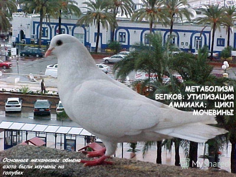 МЕТАБОЛИЗМ БЕЛКОВ: УТИЛИЗАЦИЯ АММИАКА; ЦИКЛ МОЧЕВИНЫ Основные механизмы обмена азота были изучены на голубях