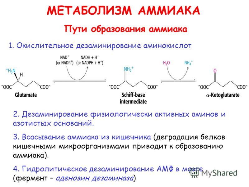 МЕТАБОЛИЗМ АММИАКА Пути образования аммиака 1. Окислительное дезаминирование аминокислот 2. Дезаминирование физиологически активных аминов и азотистых оснований. 3. Всасывание аммиака из кишечника (деградация белков кишечными микроорганизмами приводи