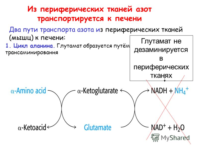 Из периферических тканей азот транспортируется к печени Два пути транспорта азота из периферических тканей (мышц) к печени: 1. Цикл аланина. Глутамат образуется путём трансаминировання Глутамат не дезаминируется в периферических тканях
