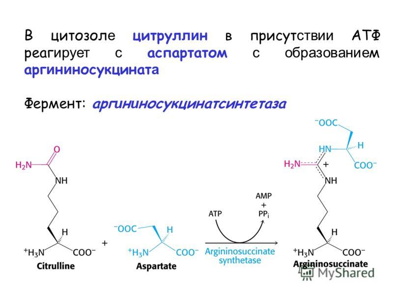 В цитозол е цитрул ли н в присут ствии ATФ реаг ирует с аспартатом с образование м арг и н и носукцинат а Фермент: арг и н и носукцинатсинтетаза