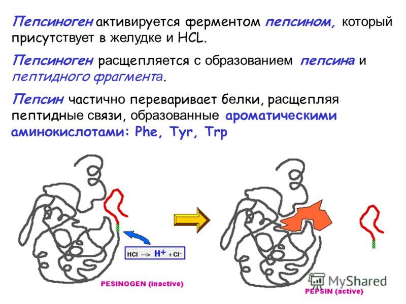 Пепсиноген актив ир у е тся ферментом пепсином, который присут ствует в желудке и НСL. Пепсиноген р ас щепл яе тся с образованием пепсин а и пептидного фрагмент а. Пепсин част ично переваривает б е лки, р ас щепл яя пептидн ые св язи, образованные ар