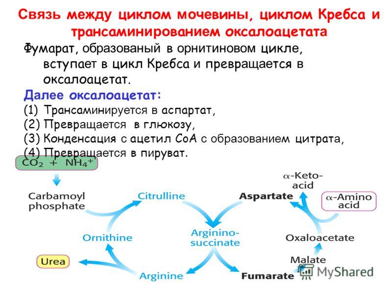 Связь м е ж ду циклом мо ч е вин ы, циклом Кребса и трансам и н иро ван ие м оксалоацетат а Фумарат, образованый в орнитиновом цикл е, вступа ет в цикл Кребса и превр ащае тся в оксалоацетат. Д алее оксалоацетат: (1)Трансам и н ируется в аспартат, (2